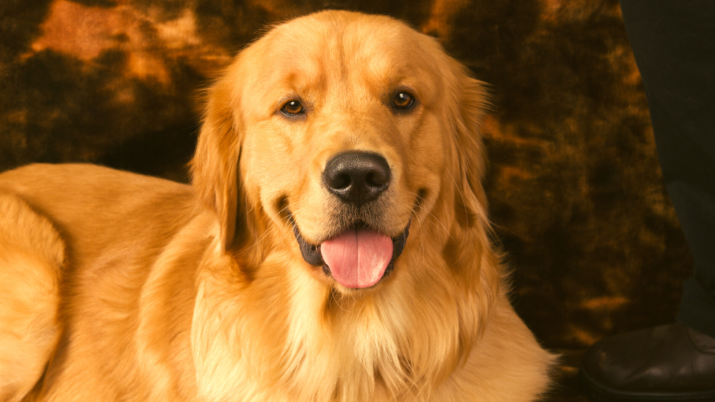Golden Retriever: Know All About Them Before Buying