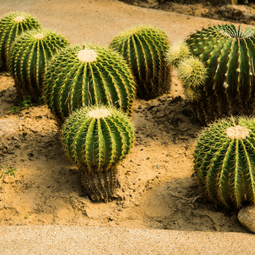 Plant Cactus Or Pointy Plants In The Yard/Garden