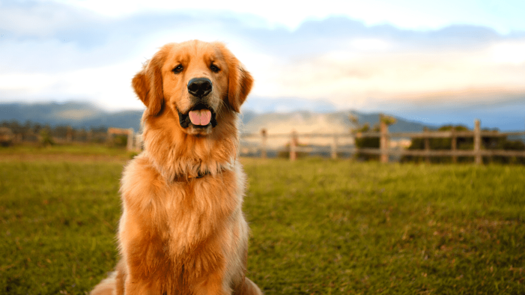 Golden Retriever Cancer: Types, Symptoms, Diagnosis & Treatment
