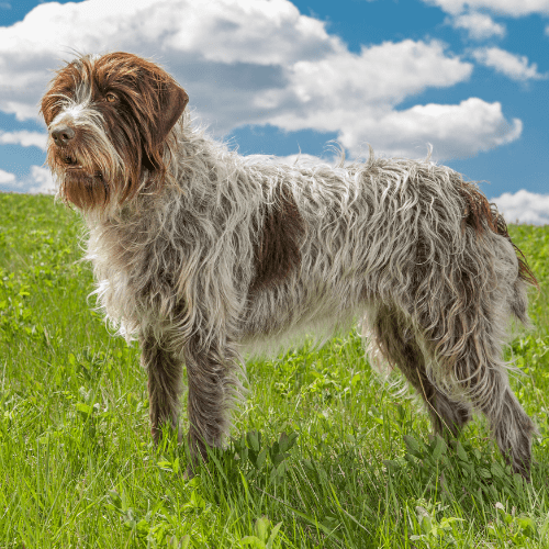 When Does A Wirehaired Pointing Griffon Get Full Size?
