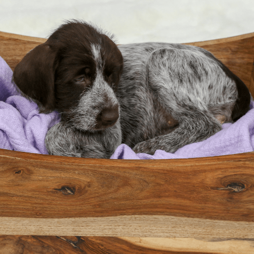 What To Look For While Choosing A Wirehaired Pointing Griffon Puppy?