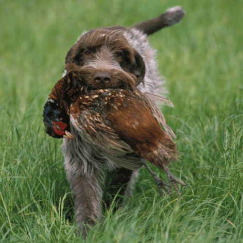 What Type Of Hunting Is Best For Wirehaired Pointing Griffon?