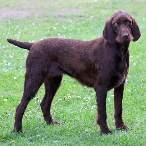 When does a Pudelpointer get full size?