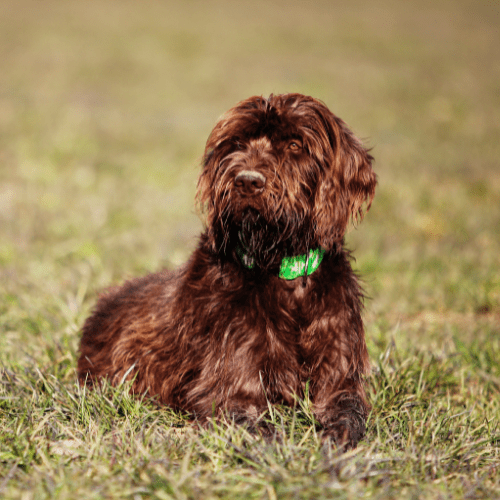 How to groom a Pudelpointer?