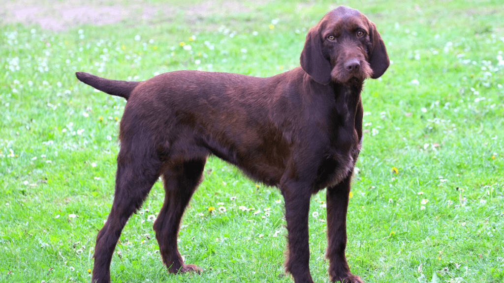 Pudelpointer Dog: Know All About Them Before Buying